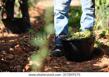 Grape harvest #357849575