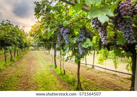 Shutterstock grape harvest