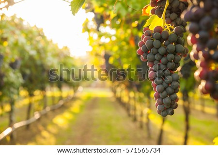 grape harvest - Shutterstock ID 571565734