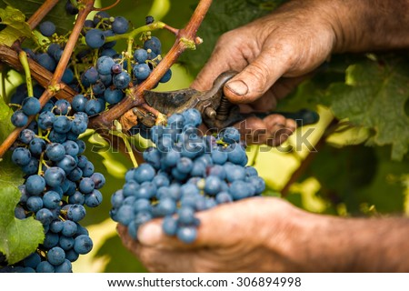 grape harvest close up hands #306894998