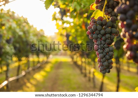 grape harvest Italy #1296344794