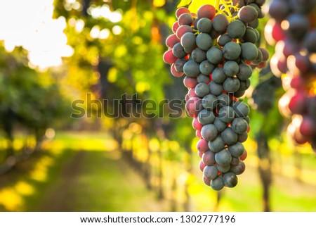 grape harvest Italy #1302777196
