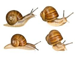 grape helix - common snail