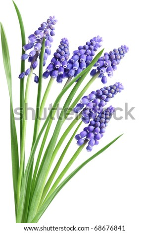 Grape Hyacinth Muscari Flower in the early spring season