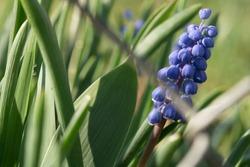 Grape hyacinths blooms welcoming early spring.  Muscari