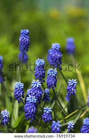 Grape hyacinths or Muscari flowers in a garden
