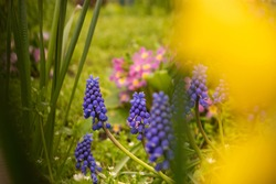 Grape hyacinths welcome the spring.