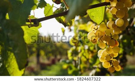 grape in vinicola in portugal Foto stock ©