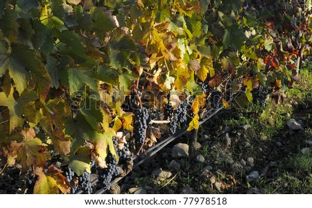 grape-laden vines before harvesting organic vineyard - stock photo
