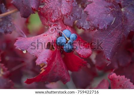 grape leaf autumn