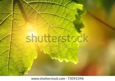 Grape leaf detail over sunny defocused background. Macro closeup.