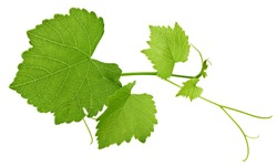 Grape leaf isolated on white. Grape Clipping Path