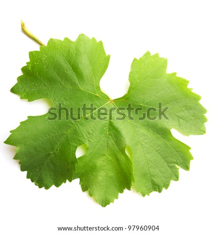 grape leaf on a white background