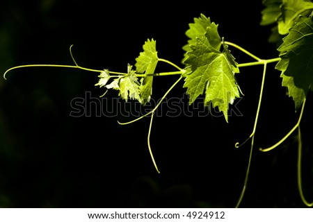 Grape leaves.