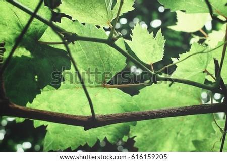 Grape leaves #616159205