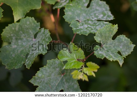Grape leaves affected by powdery mildew