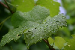 Grape leaves covered by rain drops right after a summer storm.