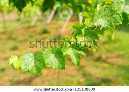Grape leaves, farm