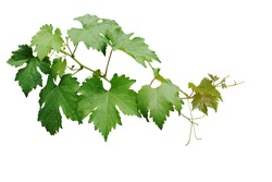 Grape leaves vine branch with tendrils and young leaves after rain in vineyard, green leaves vine plant or grapevines with raindrops isolated on white background with clipping path.