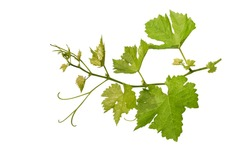 Grape leaves vine branch with tendrils tropical plant isolated on white background, clipping path included