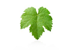 Grape leaves with dew drop isolated on white