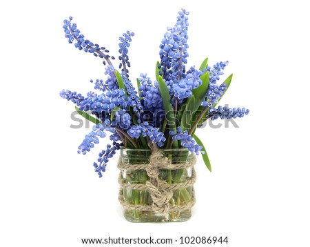 Grape muscari hyacinth flower in vase on a white background