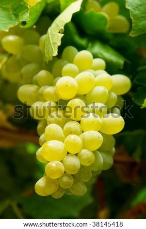 Grape on branch