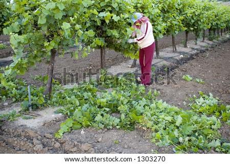 Picker da uva, vale de San joaquin, Califórnia