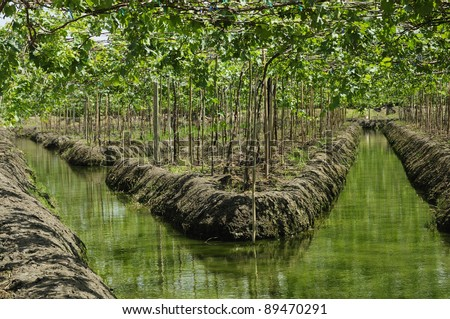 Grape plant / Vineyards and irrigation canals in Thailand - Horizontal image
