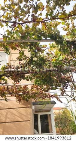 Grape pruning in garden in autumn Stok fotoğraf ©
