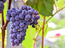 Grape seeds surrounded by a garden stroll and eat very healthy. Grapes closeup. Grape vines with black grapes. Autumn grape leaves background.