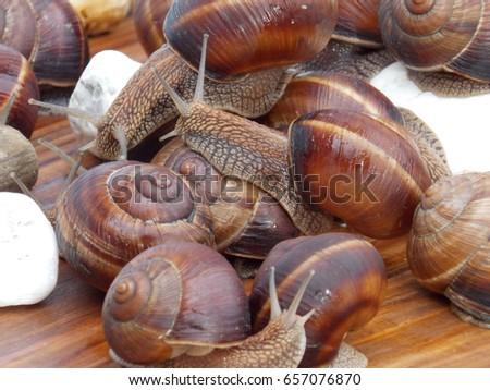 grape snail gastropod mollusk on the table ez canvas