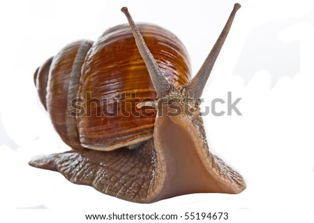 Grape snail isolated on a white background