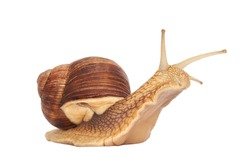 Grape snail isolated on a white background. Helix pomatia, burgundy snail, Roman snail, edible snail, escargot