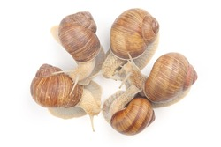 grape snail on a white background. mollusc and invertebrate. communication of the individual in society