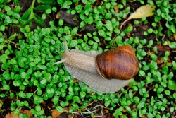 Grape snail on clover sprouts close-up.Big brown snail on green wet grass.environment and wildlife .Snail mucus and snail mucin