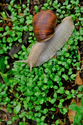 Grape snail on clover sprouts close-up. brown snail on green wet grass.environment and wildlife concept.Snail mucus and snail mucin