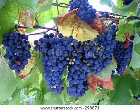 grape vine clipart. stock photo : Grape-Vine