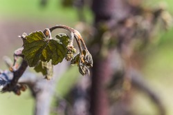 Grape vine after frost. Frozen leaves and a bunch of grapes. Plants after a sharp cold snap. Dead parts of plants after frost. Ice wine. Icewine, eiswein, iced wine, sweetest wine