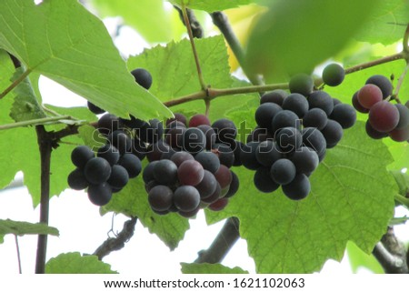 grape vine and bunches in the head