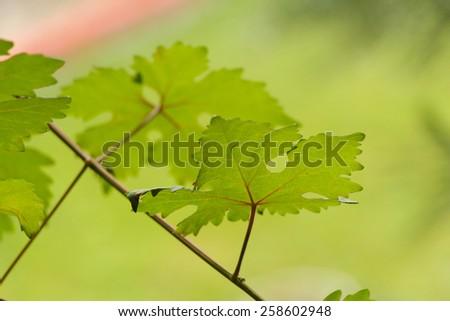 Grape vine leaves. Fresh green leaves background.