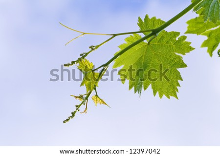 grape vine leaves over cloudy sky
