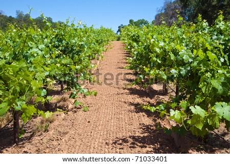 Grape vine rows at a Shenandoah Valley winery.