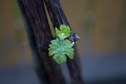 Grape vine with a bud. Shot with a beautiful bokeh. New growth budding out from grapevine vine yard.