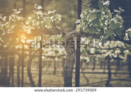 Grape Vine with Vintage Instagram Film Style Filter