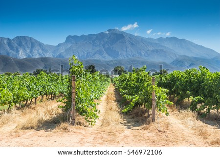 Grape vines in a vineyard on a hot summer day in Western Cape, South Africa #546972106