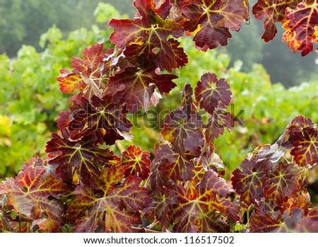 Grape Vines in October, Sonoma County ,California, USA