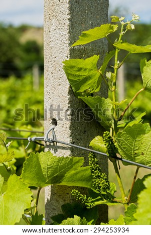 Grape vines with newly growing grapes in a vineyard near post.