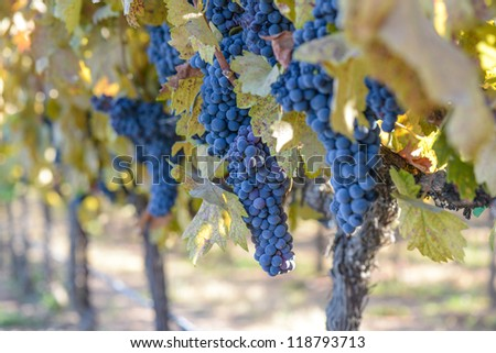 Grape Vineyard in Autumn