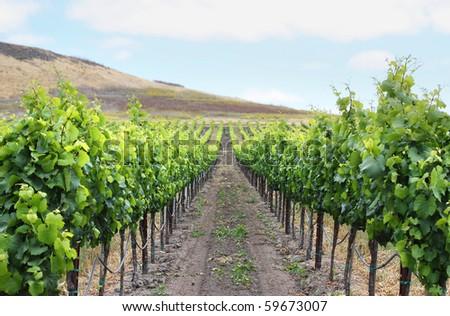 Grape vineyard in Napa, California.